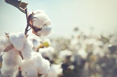 Cotton seed oil / Cotton oil