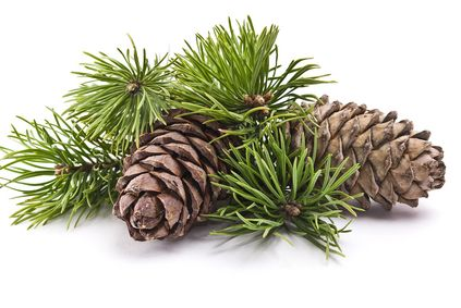 Pine needle oil